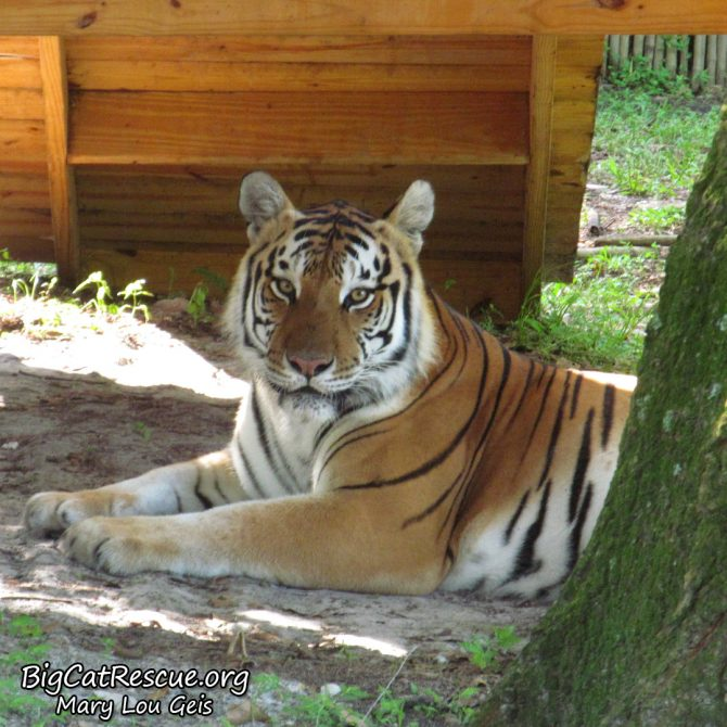 Dutchess Tiger hanging out in the shade, wondering if it will rain more.