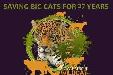 Visit the Cats of Big Cat Rescue in Tampa bay Florida