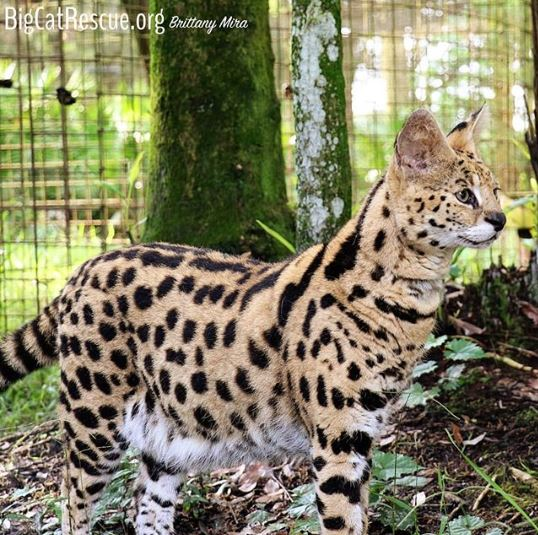 Hutch the serval makes sure that the keepers handing out the sicles don't forget about him!