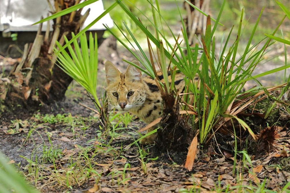 Illithia watches the goings on of the morning routine. The Serval is a solitary animal that leads a crepuscular lifestyle, meaning that it is most active in the early morning and evening.