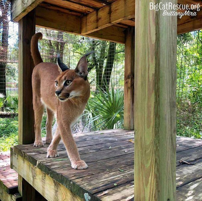 Cyrus Caracal can spy on his neighbor Chaos from his platform!