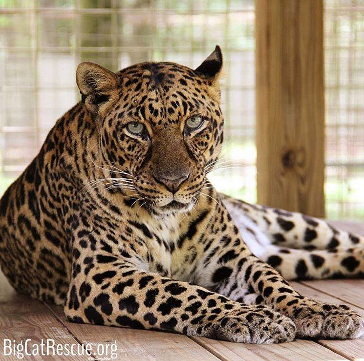 Beautiful Armani Leopard patiently waiting for her afternoon sicle to arrive!