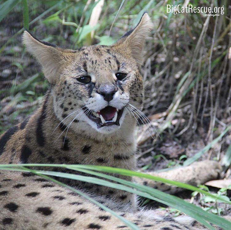 Zucari Serval is all smiles today!