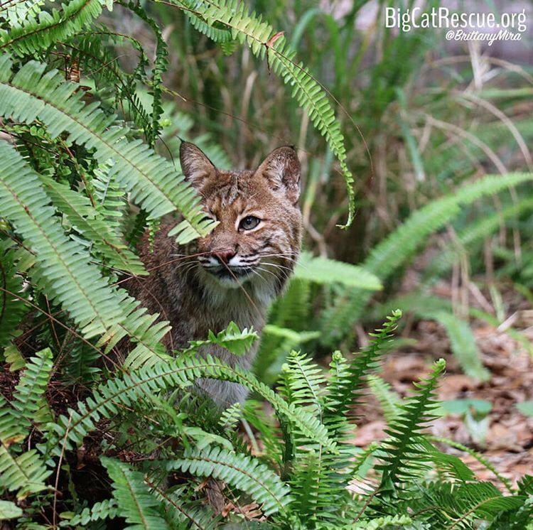 Frankie Bobcat enjoys playing hide and seek with his keepers after breakfast time!