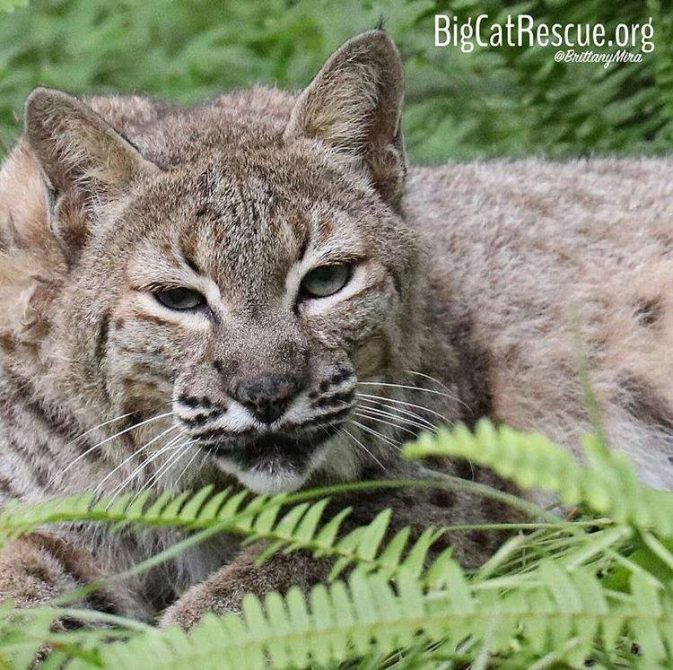 Aww, Running Bear Bobcat looks ready for bed!