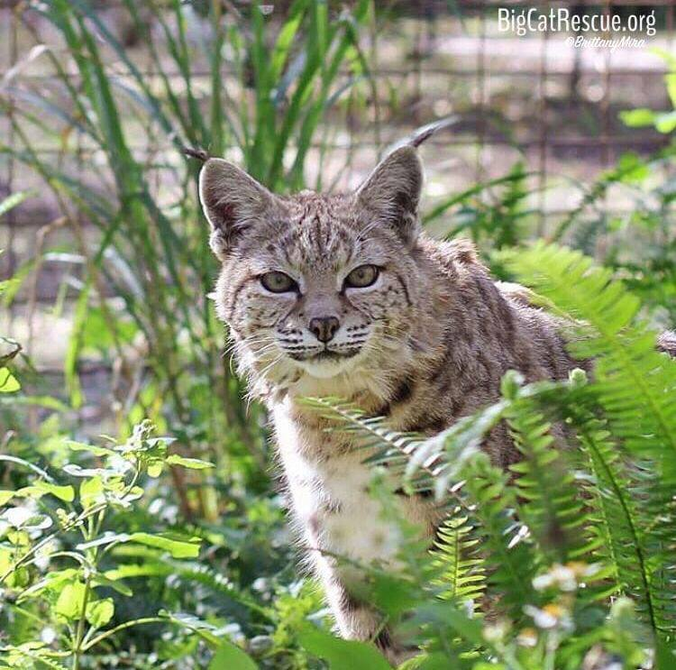 Sweet little Tiger Lilly Bobcat likes to pop out of her ferns to say hello!