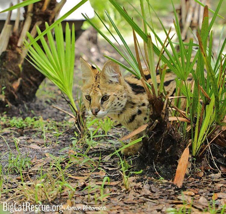 Illithia the Serval blending in with her amazing camouflage.