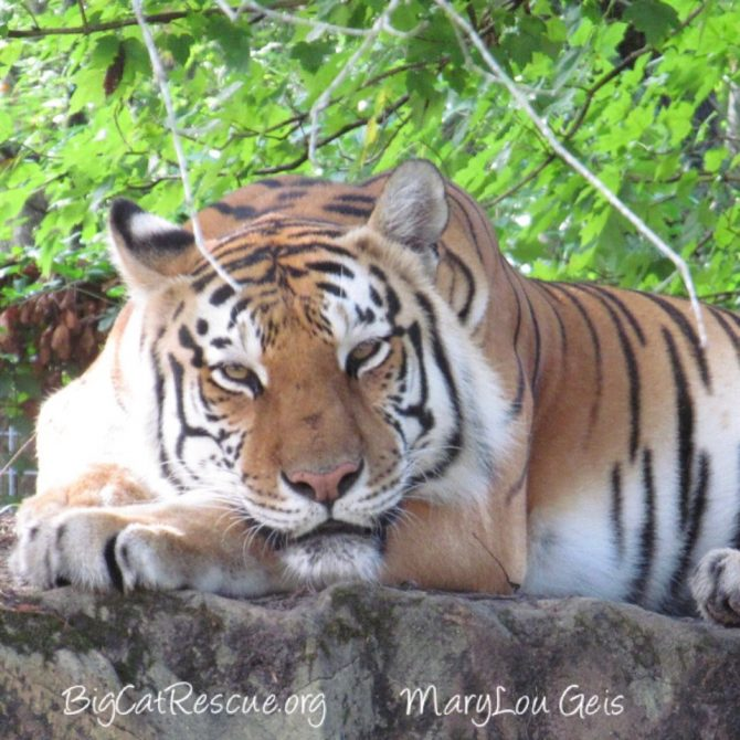 Dutchess Tigress sure is glad the weekend is almost here! ? Happy FURiday everyone! ?
