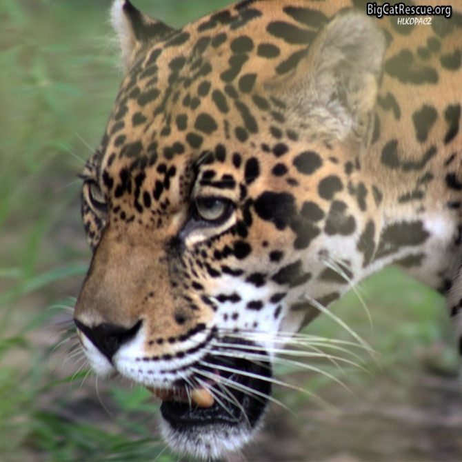 Handsome Manny Jaguar is all decked out for Whiskers Wednesday! >>•<<