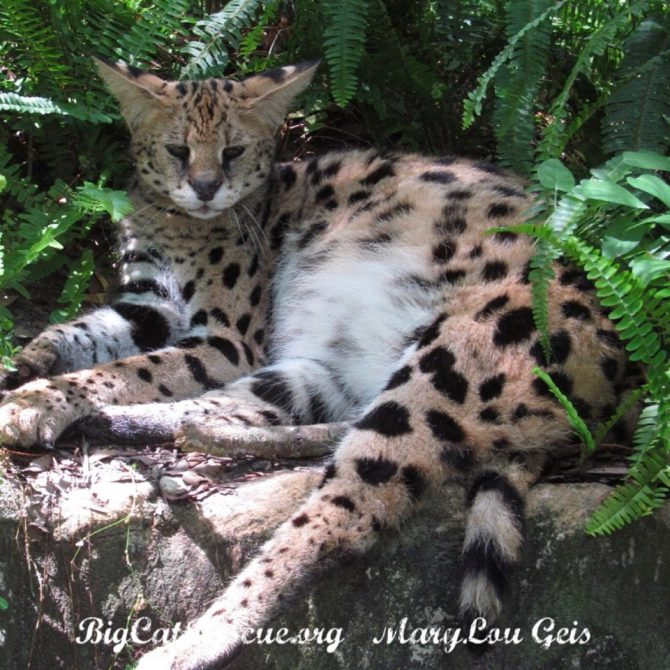 Nala Serval has settled in for a catnap in her ferns!