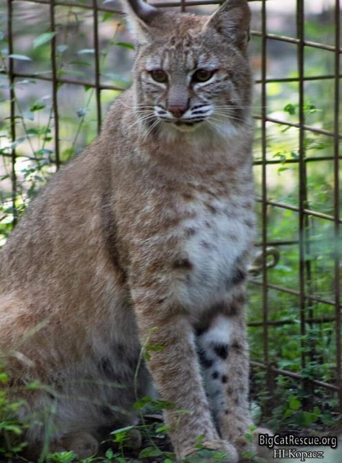 Sweet Biscuit Nabisco Bobcat is busy watching for the treat wagon!