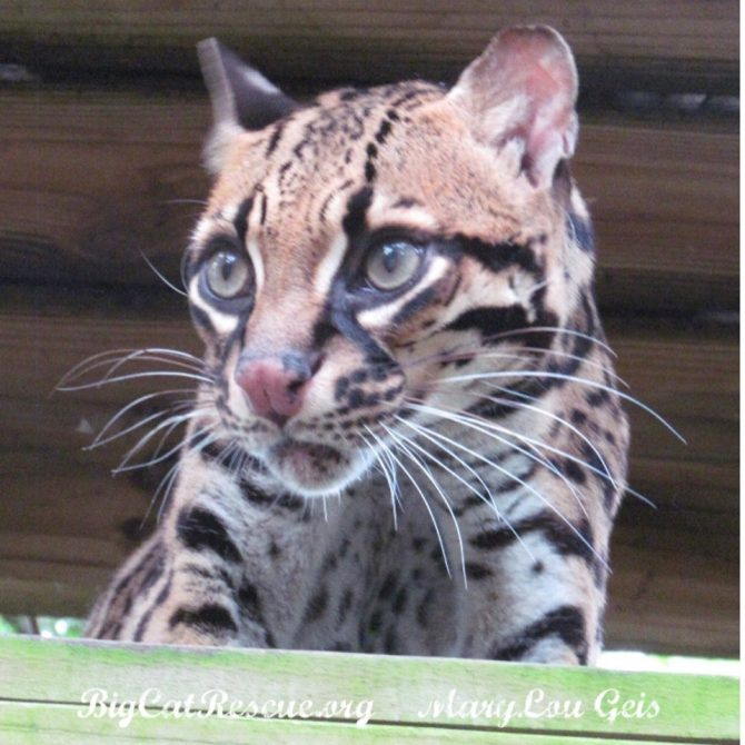 Purr-fection Ocelot is watching for the Keeper Tour hoping for enrichment!