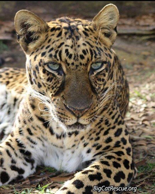 Beautiful Miss Armani Leopard is hoping you have a fantastic FURsday Thursday! ?
