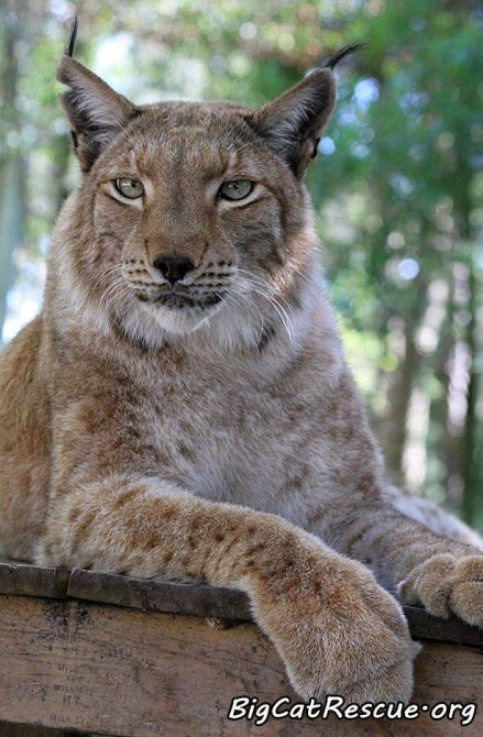 Please send your prayers and positive thoughts to Apollo the Siberian Lynx this evening. He isn't feeling well but is resting comfortably in the recovery hospital tonight. ? Feel better sweet Apollo! ?