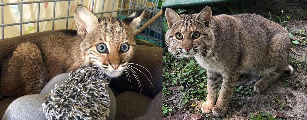 Alpha-Rehab-Bobcat-Kitten-Adult