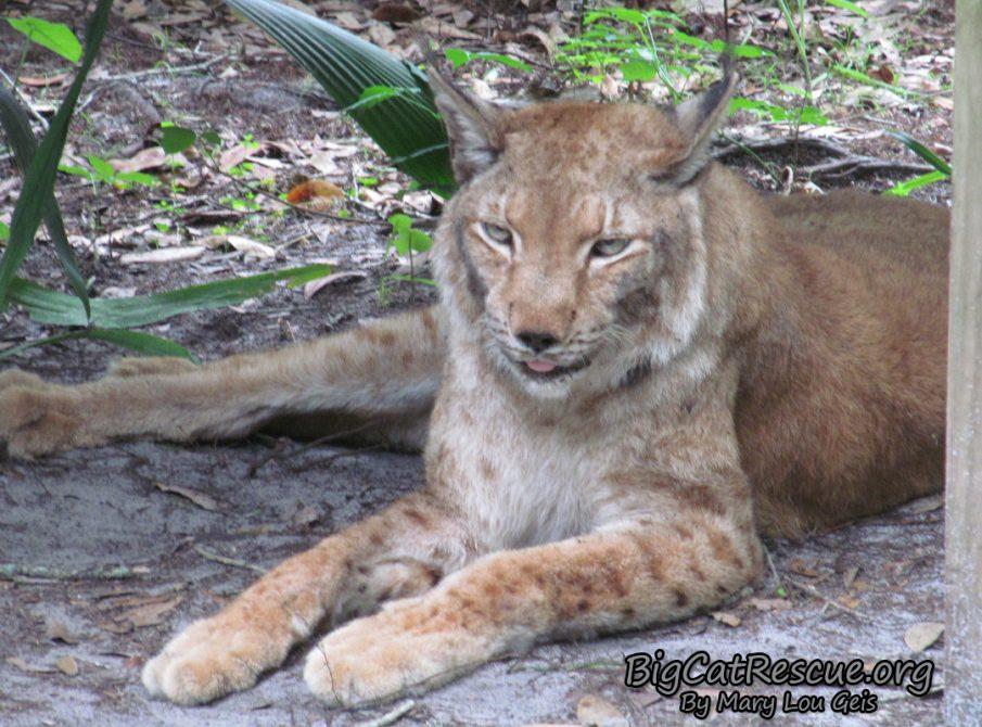 Apollo Siberian Lynx