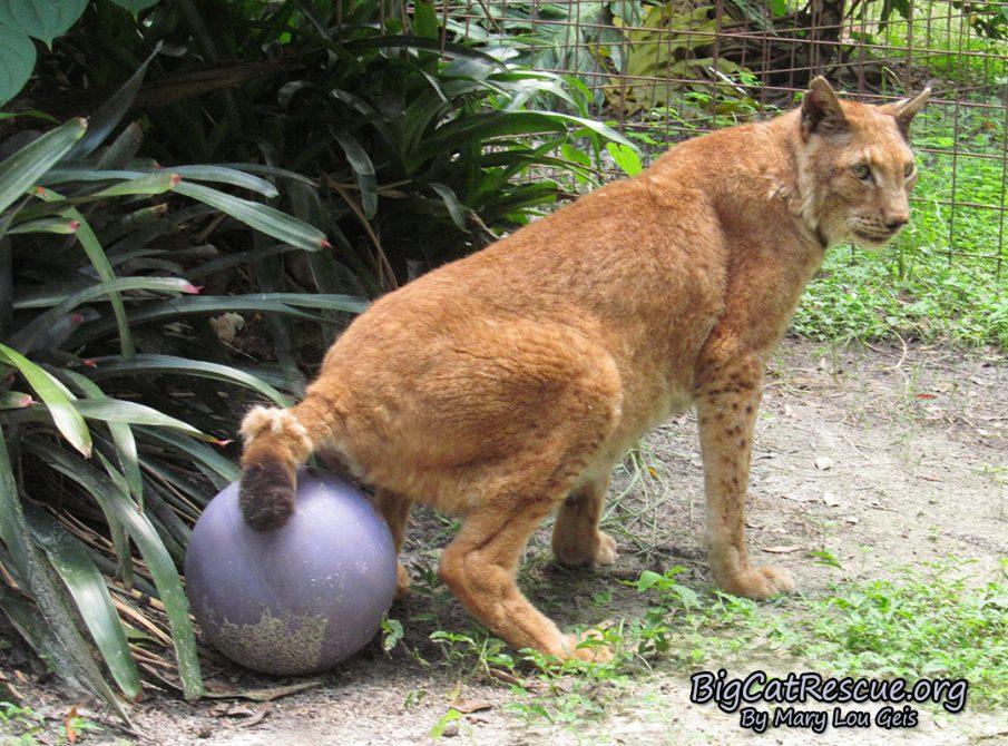 Apollo Siberian Lynx sits on his favorite ball