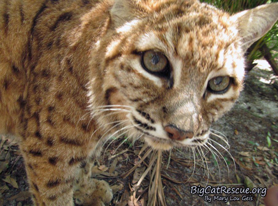 Breezy Bobcat