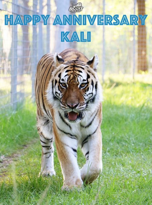 Happy Rescue Anniversary to Kali!! Kali the tigress has called Big Cat Rescue home for the last five years <3 Learn about Kali - http://bigcatrescue.org/kali/ Sponsor Kali - https://big-cat-rescue.myshopify.com/products/tiger-sponsorship
