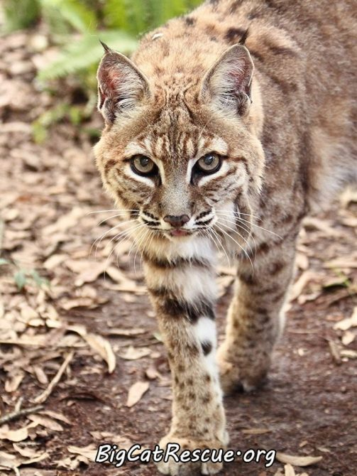 Miss Breezy Bobcat wants to know if YOU have made the Call of the Wild this week? Text CATS to 52886 or go to BigCatAct.com
