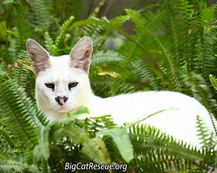Pharaoh the White Serval is very handsome among his ferns!