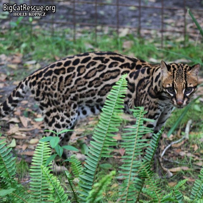 Amazingly beautiful Purr-Fection Ocelot is out looking for the purr-fect CAT-napping spot among her ferns!