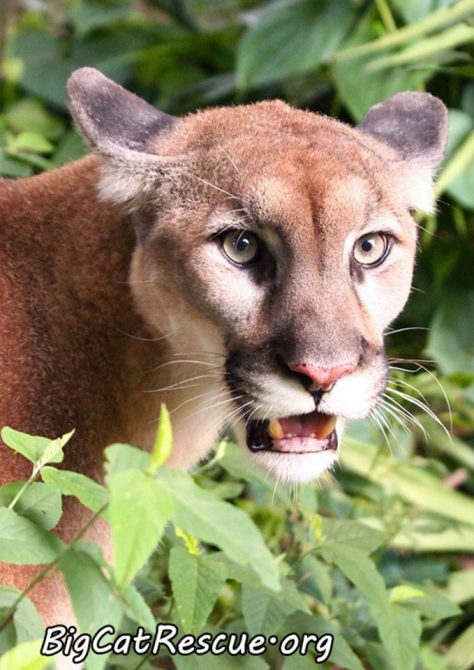 Orion Cougar is watching for keepers to bring snacks!