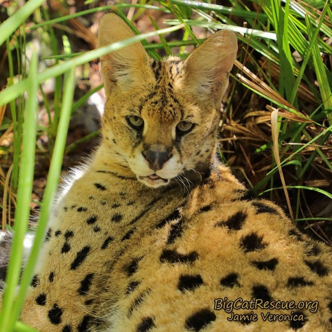 Kricket Serval wants to know if you brought treats?!