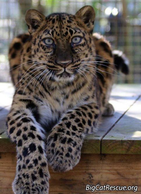 Good morning Big Cat Rescue Friends! ☀️ Beautiful Natalia the Amur Leopard hopes everyone has a fantastic FURsday Thursday!