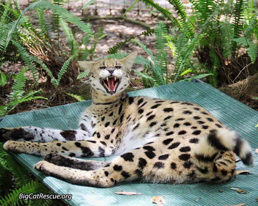 Good night Big Cat Rescue Friends!🌙 Nala Serval is so happy tomorrow is Fri-YAY! Nite nite everyone!