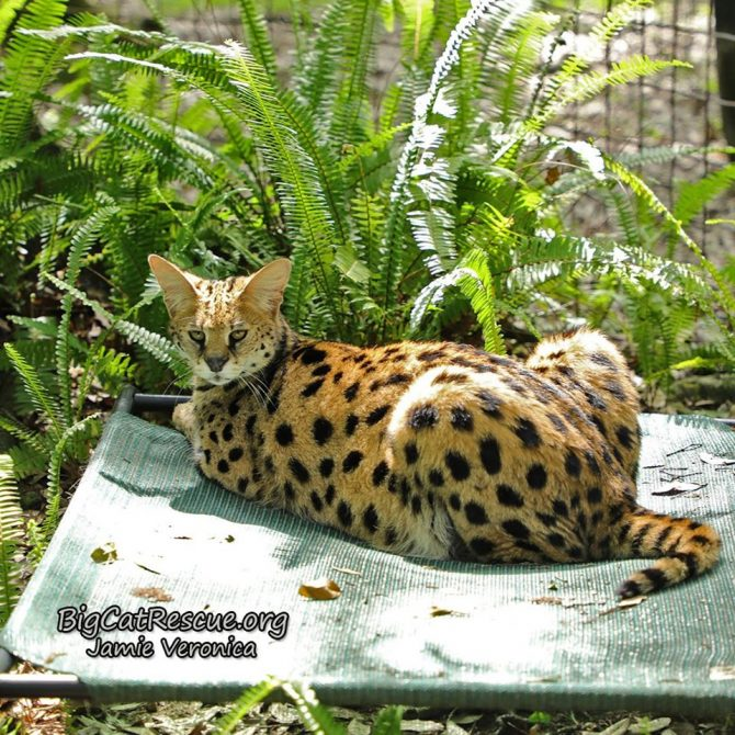 Nala Serval is showing off her spots in the sunshine while resting on her Coolaroo!
