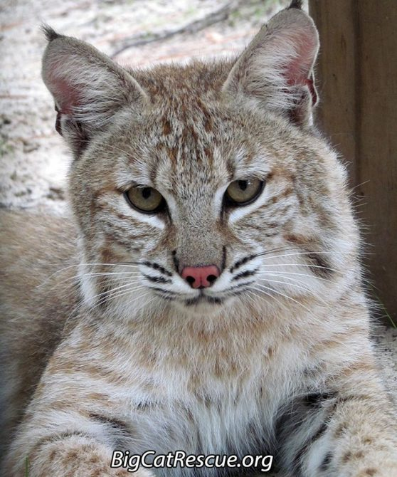 """Nabisco Bobcat, AKA-Biscuit, is just the cutest little guy! What's your nickname for him? I call him """"Fluffy Biscuit"""""""