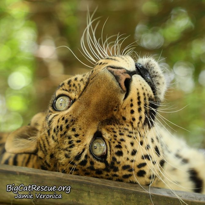Miss Sundari Leopard wants you to see she can do Whiskers Wednesday beautifully even upside down!