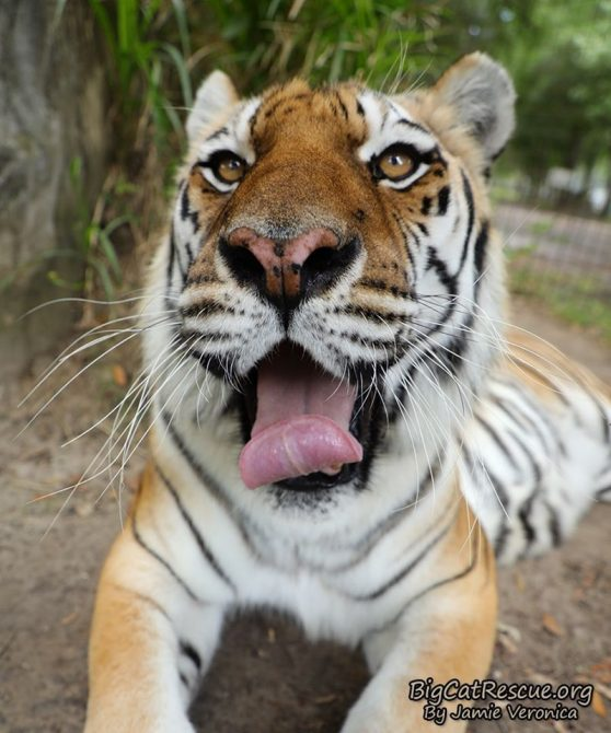 Beautiful Miss Kali Tigress is posing for Tongue Out Tuesday! Love you Kali! Have a terrific day everyone!