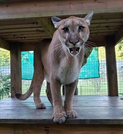 One of the cougar cubs