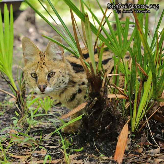 Beautiful Illithia Serval hiding out looking for something to chase!