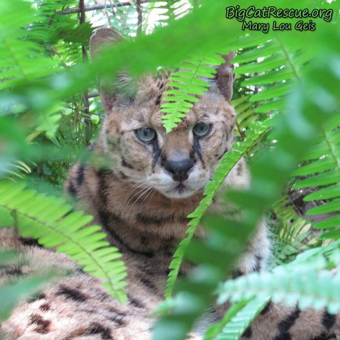 Beautiful blue-eyes Zimba Serval is ready to take a long CATnap in his ferns!