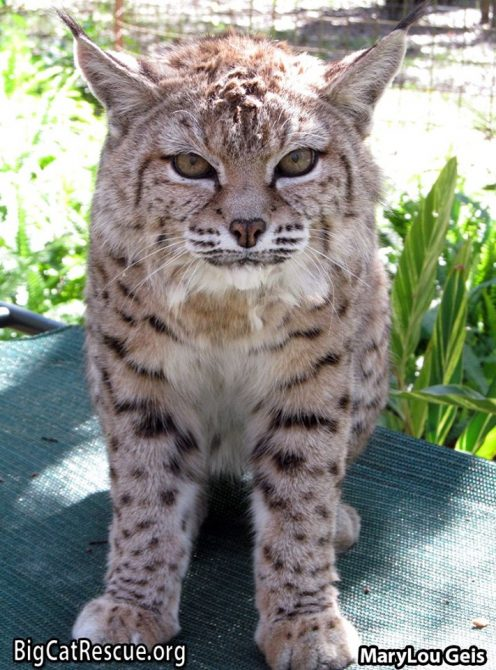 Beautiful Miss Tiger Lilly Bobcat is the oldest resident at Big Cat Rescue at 24 years old! LOVE her little ? nose!