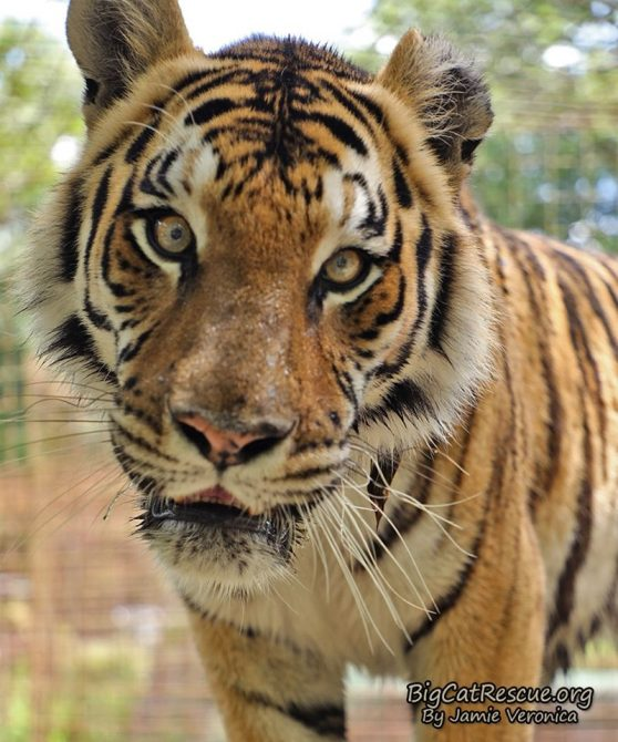 Jasmine Tiger welcomes you to a Happy CATurday! Have a great day everyone!