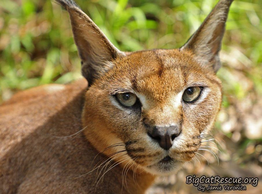 "Cyrus (Punkin Head) Caracal has the most beautiful long, black twitchy ears! *Did you know ""Caracal"" means ""black ears""?"