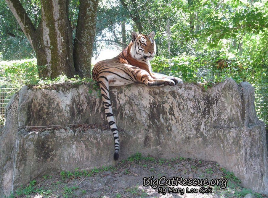 Dutchess Tigress looking quite regal laying on top of her rock den keeping an eye on Tiger Lake!