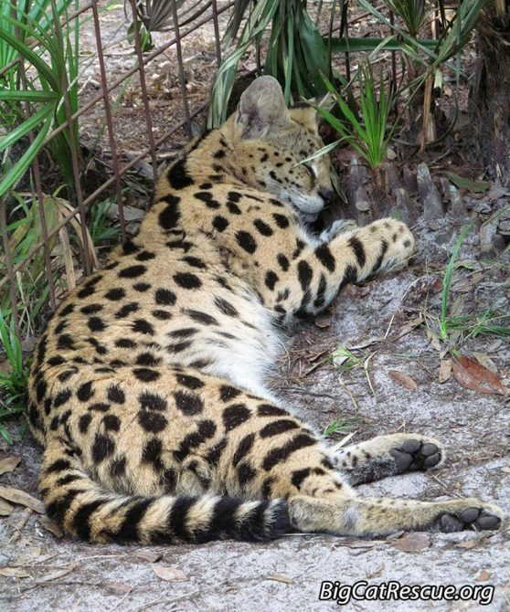 Goodnight Big Cat Rescue Friends! ? Hutch Serval is sleeping! Shhhh! Nite nite Hutch!
