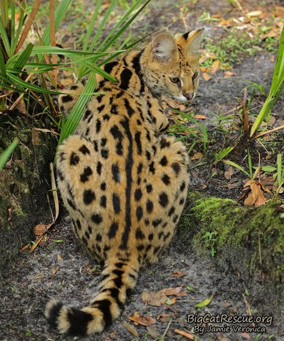 Illithia Serval has spotted a keeper! Did they bring treats?!