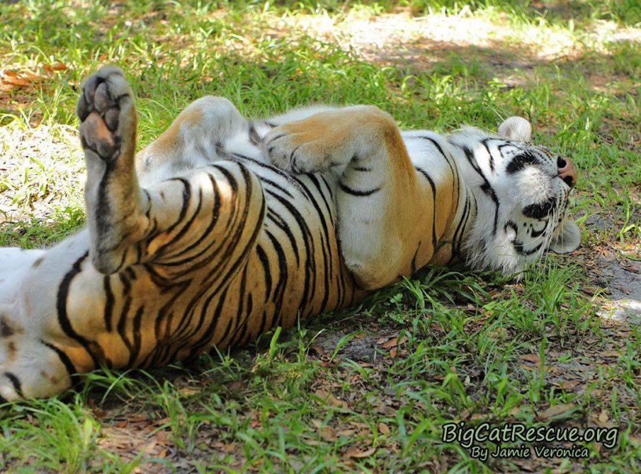 """Dutchess Tiger says, """"Doesn't everyone CATnap like this?!"""""""
