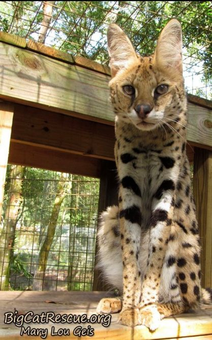 Illithia Serval wants to know what you brought for her afternoon snack?!
