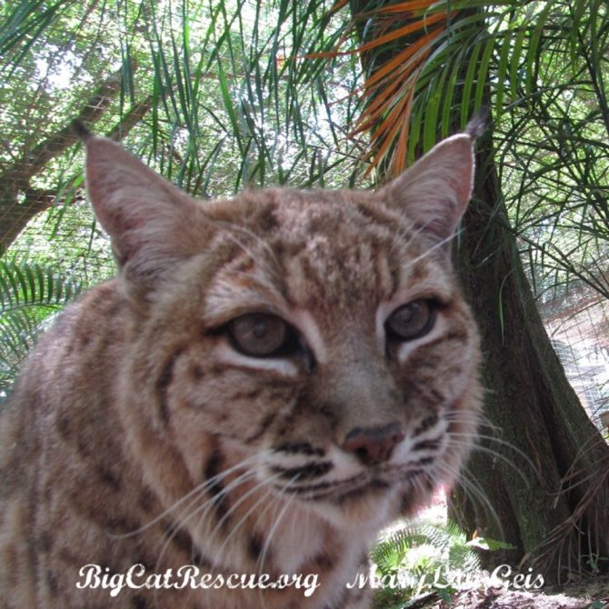 Miss Breezy Bobcat is watching the squirrels hanging out in the trees!