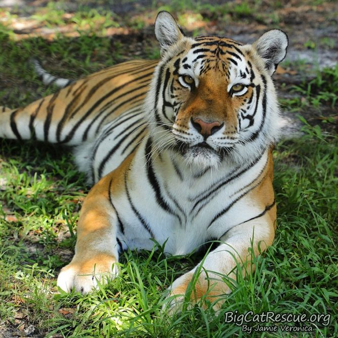 Beautiful Dutchess Tiger is excited it's FURsday Thursday!