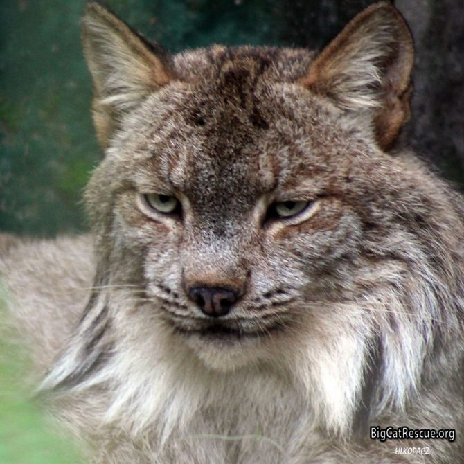 Gilligan Canada Lynx is watching out for the keepers to bring snacks!