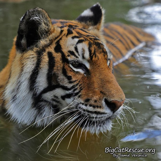 Good morning Big Cat Rescue Friends! ☀️ Princess Priya Tigress searching for someone to splash! Have a beautiful Sunday everyone!