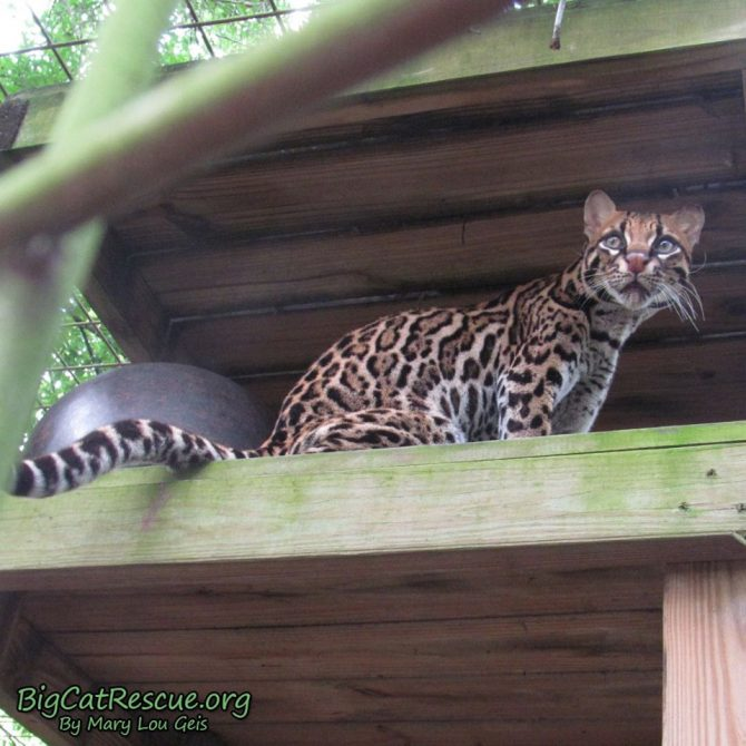 Purr-fection Ocelot watching the tour path to see who is coming with treats!